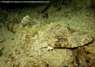 Crocodile Fish, underwater photography in raja ampat