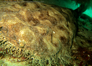 Wobbegong shark, underwater photography in raja ampat